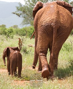 Mother and calf elephants in the wild seen from behind